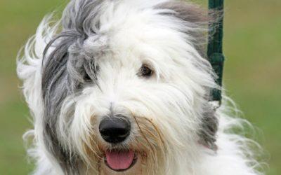 Queda de pelos em cães: quando se preocupar?